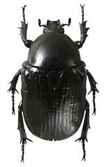 Diplognatha striata (dries.marais) Tags: