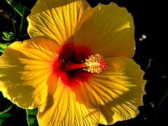 Hibisco (camus agp) Tags: hibiscus hibisco flores