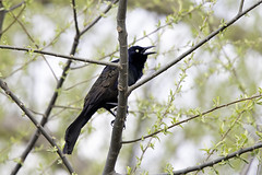 Common Grackle (aurospio) Tags: grackle commongrackle massachusetts massaudubon danielwebsterwildlifesanctuary