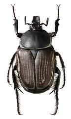 Ichnestoma albomaculata (dries.marais) Tags: