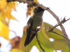 Picaflor chico (Sephanoides sephanoides). (Andres Bertens) Tags: 8340 olympusem10markii olympusomdem10markii olympusm75300mmf4867ii olympusmzuikodigitaled75300mmf4867ii rawtherapee picaflor hummingbird sephanoidessephanoides bird