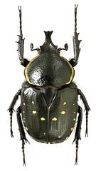 Hypselogenia geotrupina (dries.marais) Tags: