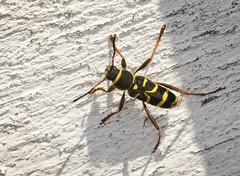 Wasp Beetle - Clytus arietis (Prank F) Tags: rspb thelodge sandy bedfordshireuk wildlife nature insect macro closeup beetle longhorn cerambycidae wasp clytusarietis