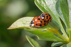 Birds do it, bees do it .... (Brian Dunning) Tags: insect harlequin ladybird mating canon eos5dmarkiii ef100mmf28lmacroisusm mr14ex harmoniaaxyridis