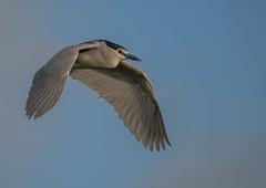 Night Heron (143latorre) Tags: birds nightheron parquenaturaldelomonte purpleheron spainmay2019 squaccoheron