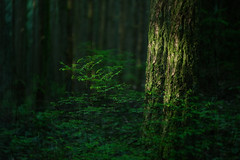 Light (Kristian Francke) Tags: sunset forest light tree trees plant plants outdoors nature natural bc canada pentax