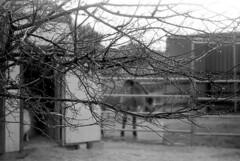 A Rainy Afternoon (squirtiesdad) Tags: rain mulberry tree spirit horse popsi goat animals pets barn corral water barrel selfdeveloped selfscanned vivitar 220sl super takumar 55mm f18 epson v600 monochrome blackandwhite bw bn bwfp analog analogue arista so100 35mm film
