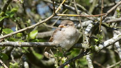 Juvenile sparrow (Deanne Wildsmith) Tags: sparrow bird chasewater staffordshire