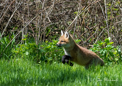 Fox Kit - Grimes Hill Road Sabinsville PA (dfbphotos) Tags: 2019 may spring tioga sabinsville tiogacounty places grimeshill wildlife foxkit fox pa usa