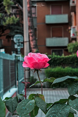 Delicate Touch of Color (alice.nanni) Tags: rose flower petals fiore spring primavera green leaves leaf verde pink rosa delicate smooth soft closeup macro canon eos 2000d stem spine petali petalo
