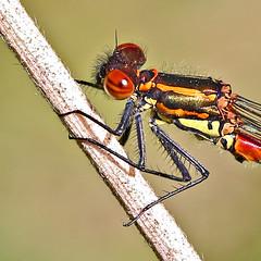 Large Red Damselfly - Michael Bird (Just call me Doc) Tags: pyrrhosomanymphula largereddamselfly damselflies dragonfly dragonflies redeyes michaelbird macro canon 100mm l 6d attenboroughnaturereserve nottingham