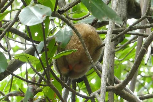 Caroni Bird Sanctuary Silky Anteater