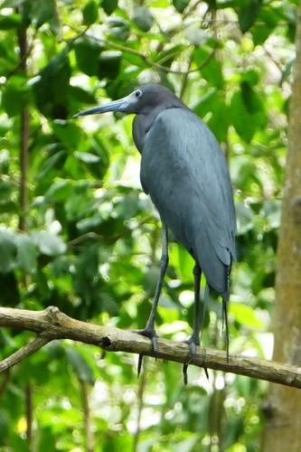 Caroni Bird Sanctuary Little Blue Heron