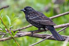 JuvieRedWingPhase2 (jmishefske) Tags: wehr redwinged wisconsin park nikon d500 juvenile nature bird may center whitnall milwaukee 2019 franklin blackbird