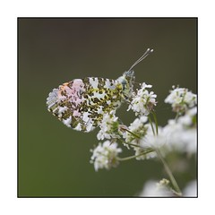 024/100X 2019 (neals pics) Tags: 100xthe2019edition 100x2019 image24100 butterfly nature natural naturephotography naturalworld wildlife suffolk orangetip macro my100x–squareformat