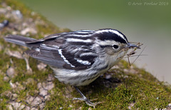 Black and White Warbler (Arvo Poolar) Tags: outdoors ontario canada arvopoolar bird wildlife whitby thicksonwoods nature naturallight natural naturephotography nikond500 warbler