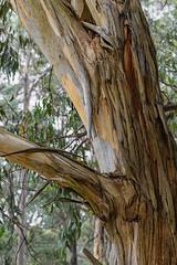 Gum tree 2019-05-16 (5D_32A4807) (ajhaysom) Tags: gumtrees bark textures lorne greatoceanroad blanketleaf canoneos5dmkiii canon100mmlmacro 100xthe2019edition 100x2019 image37100 australia