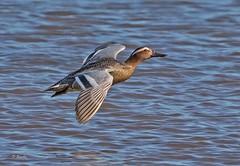 IMG_5553 Garganey (Dennis Swaby) Tags: bird duck wildfowl garganey