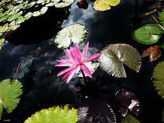 #019 - In the dark (.LooM.) Tags: dark flower dominicanrepublic santodomingo fujifilm waterlily jardinbotanico nature natureza freem color natureinfocusgroup
