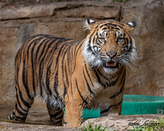 Rakan (ToddLahman) Tags: rakan tiger tigers tigertrail mammal male outdoors sandiegozoosafaripark safaripark closeup portrait photooftheday photography photographer nikond500 nikonphotography nikon beautiful exhibita