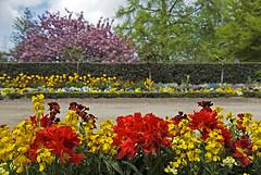 Normandie 2016 / Normandy 2016 (Joseff_K) Tags: jardinpublic massifdefleurs arbre fleur normandie normandy cotentin publicgarden flowerbed flower tree nikon nikond80 d80 tamron tamron1750f28
