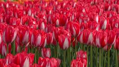 Tulips (sklachkov) Tags: flower flowers tulip tulips ottawa ontario festival tulipfestival spring