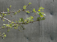 Spring Leaves (binarylegit) Tags: spring leaves contrast budding denver concrete wall