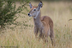 Juvenile Waterbuck (leendert3) Tags: leonmolenaar southafrica wildlife krugernationalpark mammal waterbuck nature naturethroughthelens ngc npc