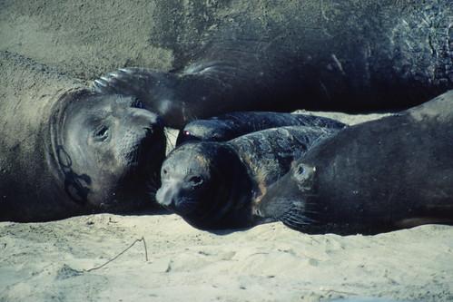 Elephant seal pups and moms on Ano Nuevo beach 2-84