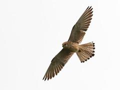 Gheppio (falco tinnunculus) (Paolo Bertini) Tags: verona birdwatching birding uccelli tregnago gheppio kestrel falco tinnunculus bird nature flight volo raptor rapaci