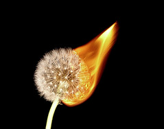 Burning Dandelion Head (gizmo-the-bandit) Tags: flower plant dandelion head seed burn burning flame art nature uk wildlife weed abstract gardening cumbria