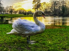 Swan enjoying a Spring sunset. (peterileypics) Tags: swan bird pond lake sun sunshine sunset animal nature wildlife lightroom light park sky sunrise summer dusk