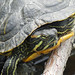Red-eared terrapin in the Thames