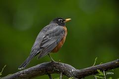 American Robin (jt893x) Tags: 150600mm americanrobin bird d500 jt893x nikon nikond500 robin sigma sigma150600mmf563dgoshsms songbird thrush turdusmigratorius thesunshinegroup coth alittlebeauty coth5