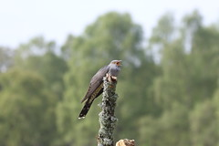Excuse me while I eat (roger_forster) Tags: cuckoo cuculuscanorus wild bird colin thursley surrey