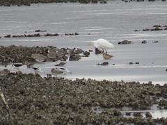 Great Egret - Texas by SpeedyJR (SpeedyJR) Tags: ©2019janicerodriguez bolivarflats17thstreetjetty galvestoncountytx greategret egrets birds wildlife nature bolivarflats galvestoncountytexas texas speedyjr
