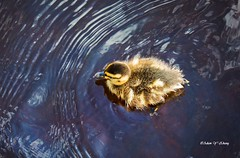 Duckling and Ripples (Thank you, my friends, Adam!) Tags: wideangle lenses standard telephoto super closeup zoom adamzhang orlando lakemary nikkor teleconverter ngc 漂亮 nikon dslr 长焦 长焦镜头 尼康 镜头 中佛州 野生动物 保护区 单反 lens central florida wildlife macro flower beauty curve 位分 不完美的美 flickrunitedaward 鲜花 美丽 动人乖小鸭 color colorful colors 色彩 多姿 beautiful gorgeous gallery fine art photography photographer excellent interesting explore fun nice unique