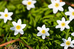 Wood anemone (JarkkoS) Tags: 70200mmf28efledvr boat boating d500 finland flower helsinki kukka tc17eii uusimaa vallisaari woodanemone