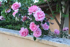 Εκτός από τα έντομα, τα λουλούδια τραβάνε και τους φωτογράφους (In addition to the insects, the flowers pull the photographers as well). (Giannis Giannakitsas) Tags: τριανταφυλλο rose roses λουλουδια flower flowers