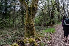 13-Vieux chêne (Alain COSTE) Tags: 2019 forêt hautevienne lavarache limousin nikon ocb printemps randonnée eymoutiers france