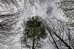 45-Feuillu et sans feuille (Alain COSTE) Tags: 2019 forêt hautevienne lavarache limousin nikon ocb printemps randonnée eymoutiers france