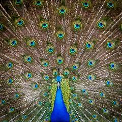 The Eyes Have It (amarilloladi) Tags: squareformat hss sliderssunday animal eyefeathers feathers peafowls fowl bird peacock