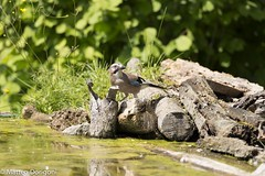 Ghiandaia (matteodorigoni) Tags: animali ghiandaia uccelli