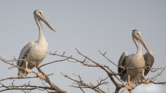 Pink-backed Pelicans (DC P) Tags: pinkbacked pelicans pink backed kotu stream gambia tree nature bird birds bluebreasted kingfisher blue breasted halcyon malimbica africa animal serene bokeh travel adventure a7rii beautiful color explore fantastic green garden ngc outdoor outside soe water world waterfront natur lake river bintang bolong pelecanus rufescens angle african dof island landscape ocean pov paradise trees trekking view relax relaxing canon 400mm l metabones sony