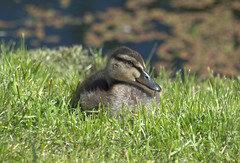 Duckling in the grass (Tony Worrall) Tags: duck duckling birds wild wildlife natural outdoor preston lancs lancashire city welovethenorth nw northwest north update place location uk england visit area attraction open stream tour country item greatbritain britain english british gb capture buy stock sell sale outside outdoors caught photo shoot shot picture captured ilobsterit instragram photosofpreston