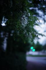 Robinia pseudoacacia@twilight (Amselchen) Tags: plants bokeh blur dof depthoffield season early summer sony zeiss carlzeiss sonnart1855 sonnar5518za sonyilce7rm2 fe55mmf18za sel55f18z