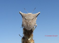 Ventocoris falcatus (Costan E) Tags: hemiptera heteroptera pentatomidae ventocoris falcatus