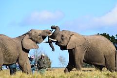 Sudafrica - 42 (NickAlbe) Tags: sudafrica wild wildlife greater kruger park national reserve play elephant