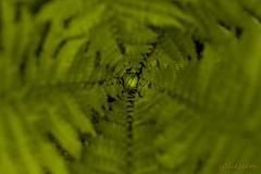 Farn (yvonneniessen) Tags: farn garten grün frühling canon 100mm