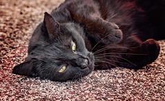 Spuntarello (Pepenera) Tags: cat cats gatto gato gatti blackbeauty black blackcat felino